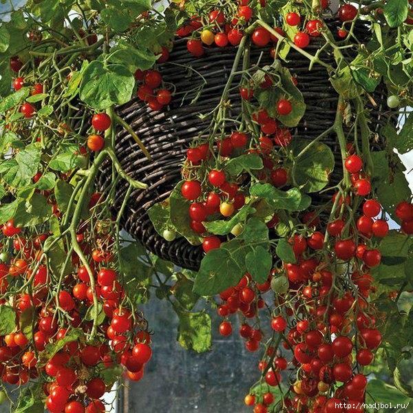 ампельные помидоры/5186405_6d16cb63d2b093e13eb376e47bb223dc_b_1_ (600x600, 318Kb)