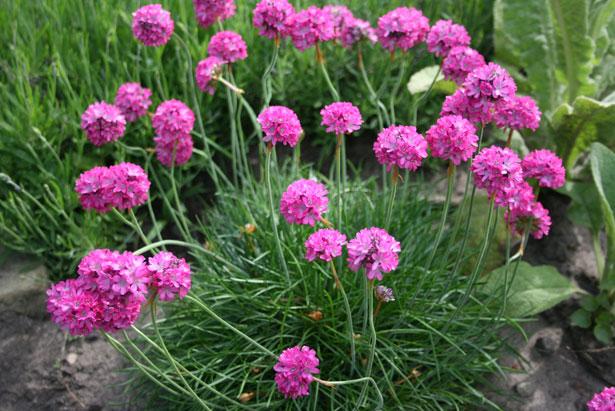 5230763_purpleseathriftflowers29941281448805r8TI (615x411, 92Kb)