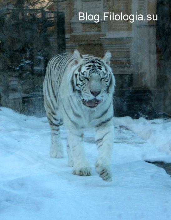 Белый тигр в зоопарке (546x700, 50Kb)