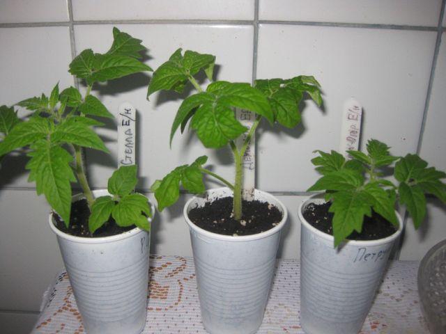 Терёхины по выращиванию томатов 32