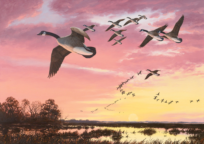 CANADA GEESE IN FLIGHT AGAINST A RED SKY (700x494, 415Kb)