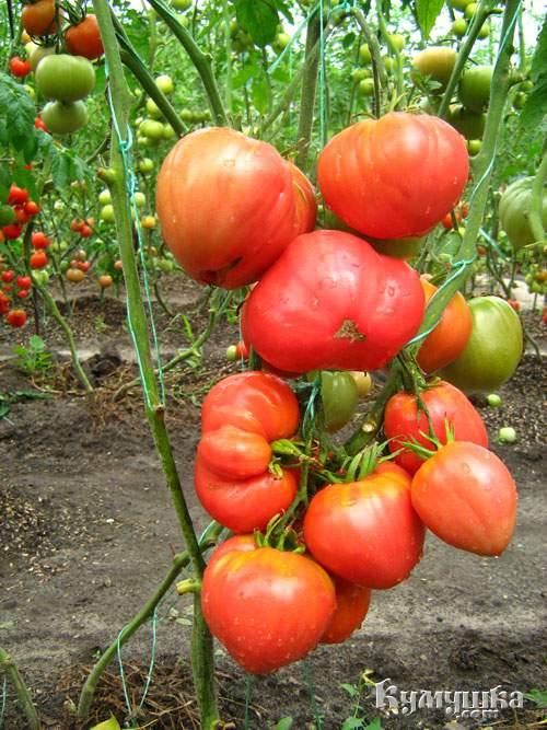 1272538278_tomaty (500x667, 69Kb)