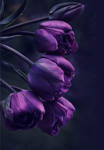 тюльпан-о (209x300, 23Kb)