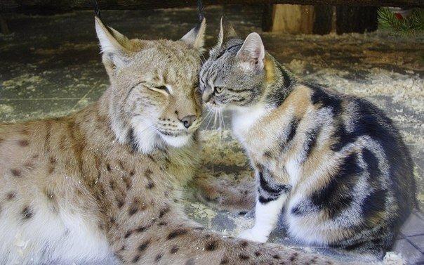 кошка дусялинда (604x377, 223Kb)