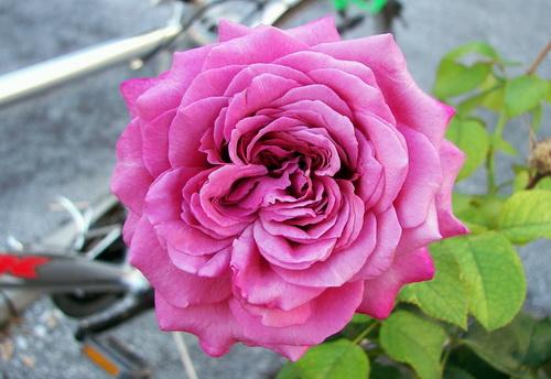 2830406_claudebrasseur04_jpgSort_rozi_Klod_Brasser_Rose_bushes_Claude_Brasseur_Rosa04 (500x344, 97Kb)