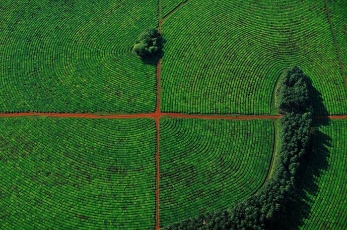 Чайные плантации в (700x464, 324Kb)