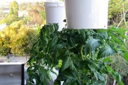 vyrashivan_pomidor1-250x166 (500x332, 20Kb)