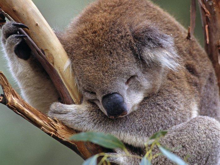 sleeping-koala_78611-1400x1050[1] (700x525, 98Kb)