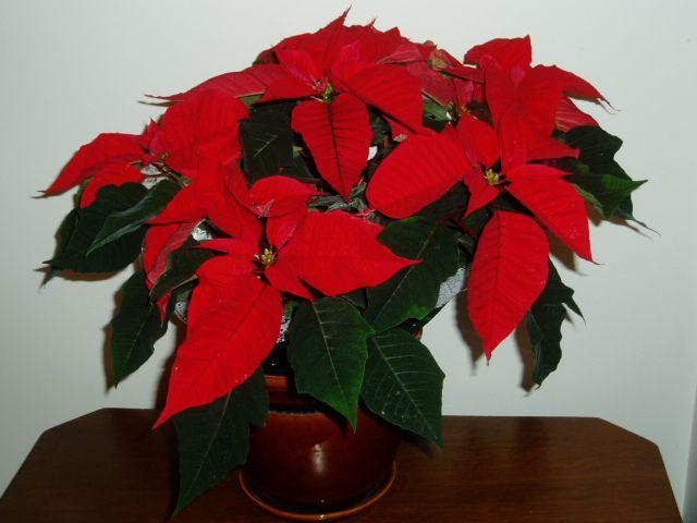 Рождественская цветок