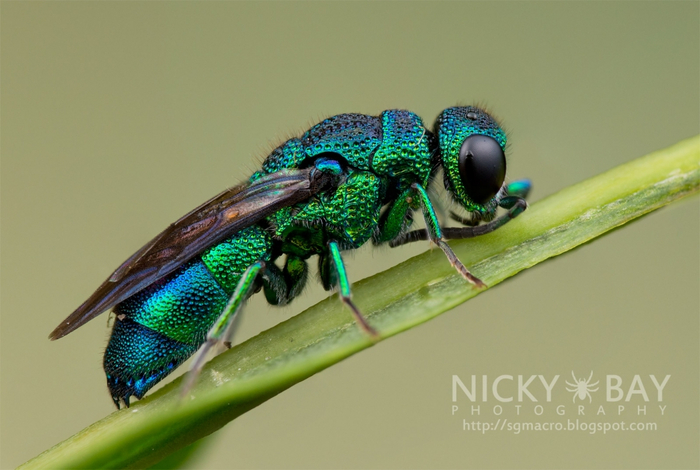 Cuckoo Wasp (Chrysididae) (700x470, 286Kb)