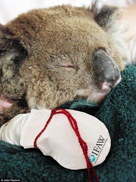 koala_australia_1 (465x620, 207Kb)