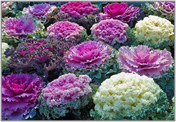 Brassica-oleracea (600x418, 90Kb)