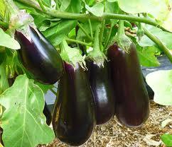 eggplants3 (242x208, 11Kb)