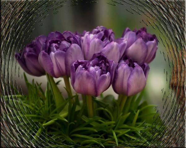 cvety-tyulpany-fon-2552 (600x478, 493Kb)