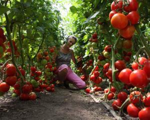 pomidory_v_teplice (300x240, 21Kb)