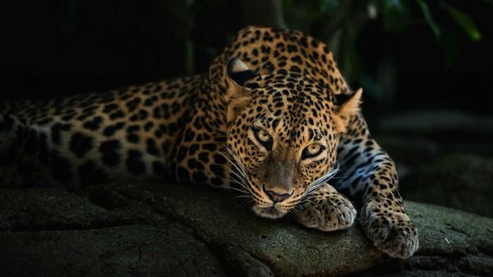 leopard-949 (700x393, 59Kb)