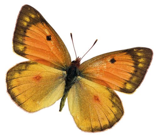 бабочка1 (500x442, 280Kb)