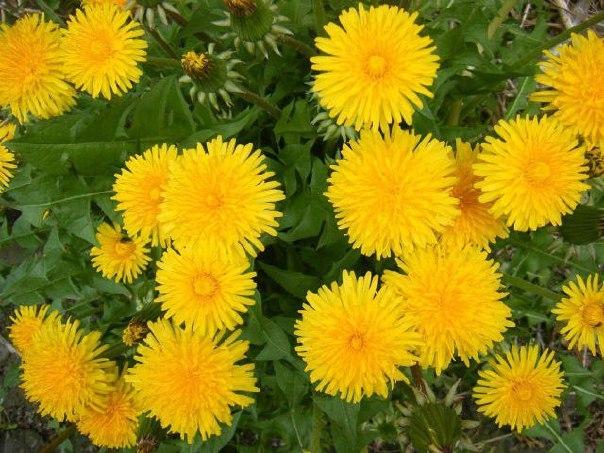 Одуванчик - солнечное лекарство от ста болезней (604x453, 85Kb)