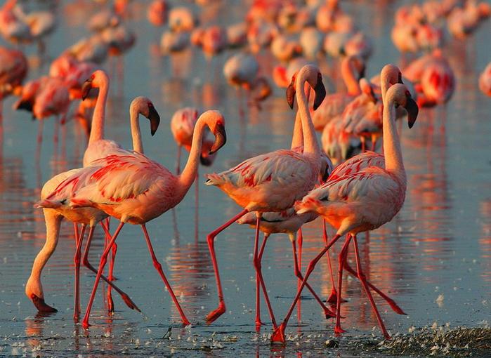 Миллион розовых фламинго8 (700x510, 468Kb)