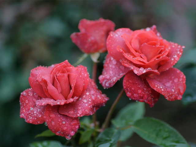 Nature___Flowers_Rose_in_the_morning_dew_042326_29 (640x480, 108Kb)
