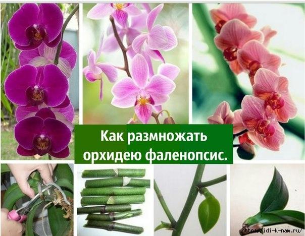 орхидея (604x468, 191Kb)