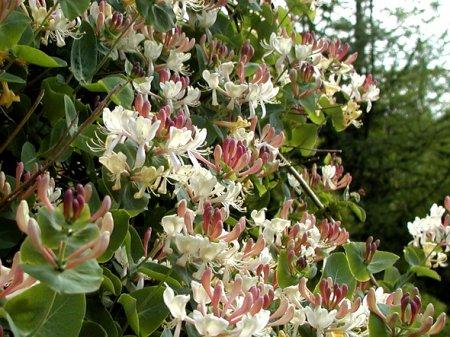 Lonicera caprifolium L (450x337, 58Kb)