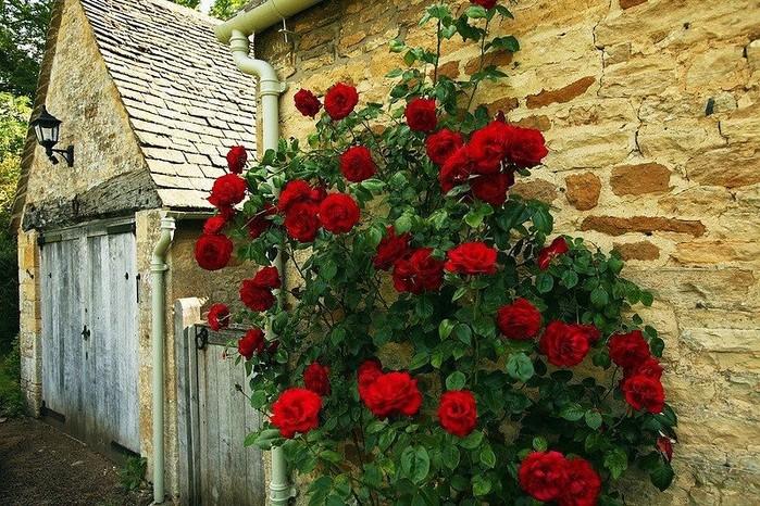 Розы куст забор  № 3015316 загрузить