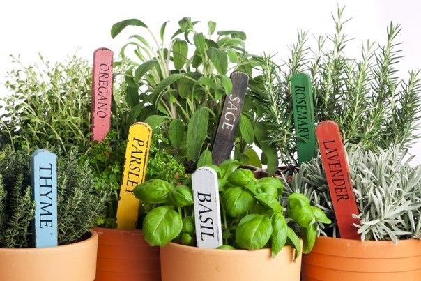 11 пряных трав, которые можно выращивать дома (604x403, 83Kb)
