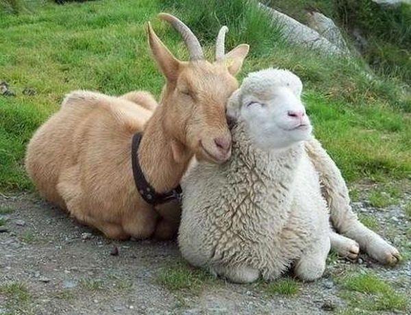 аоза и овца (600x460, 64Kb)