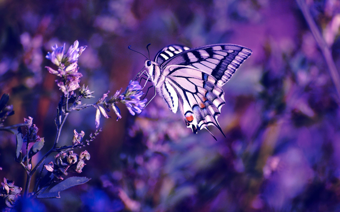 purple-butterfly_497947 (700x437, 358Kb)