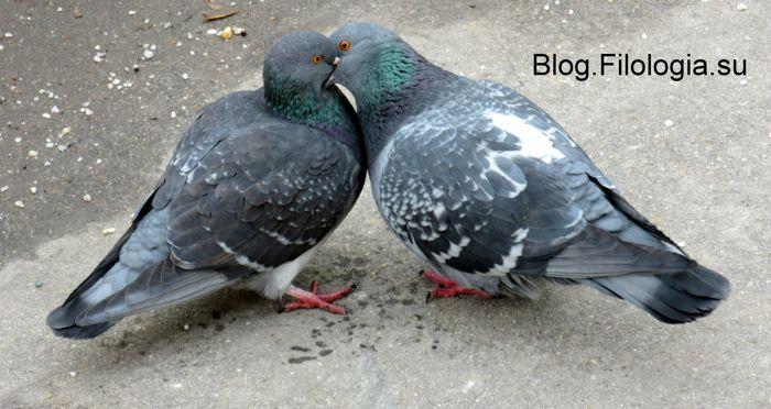 Целующиеся голуби (700x372, 55Kb)