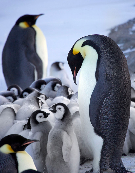 императорские пингвины фото 1 (547x700, 355Kb)