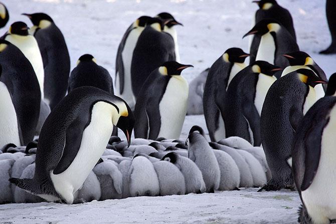 императорские пингвины фото 3 (670x447, 205Kb)