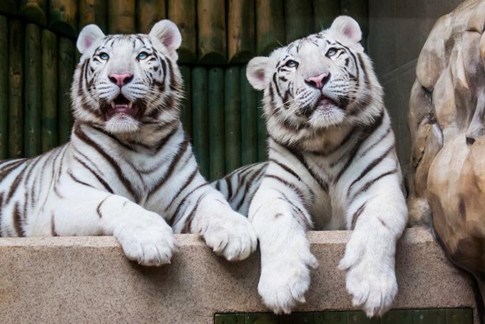 680-two-white-tigers-liberec-zoo-czech (680x454, 160Kb)