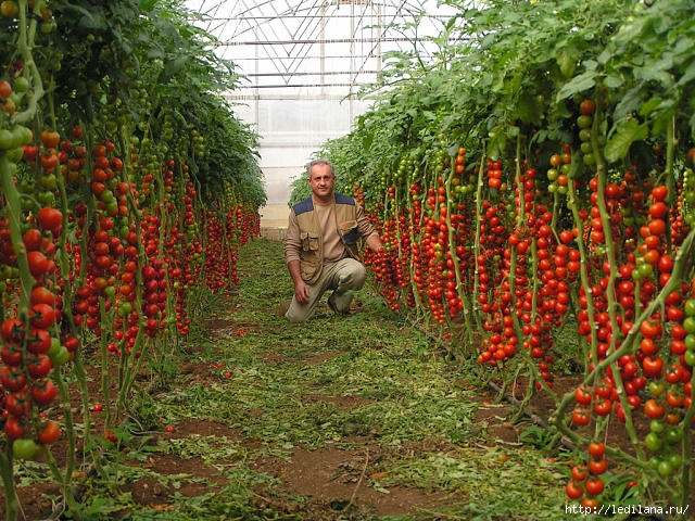 3925311_pomidori_ah (640x480, 320Kb)