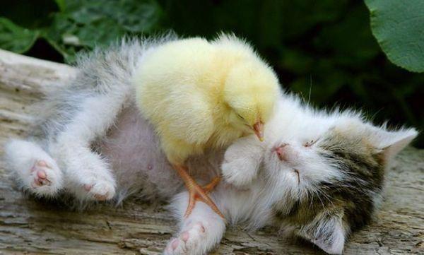 3862295_kitten_chiken (600x361, 33Kb)