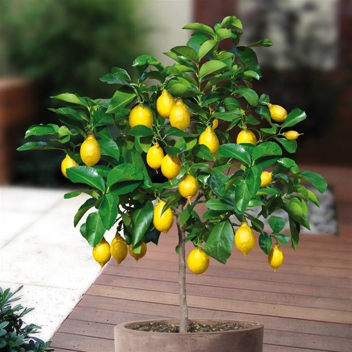 3899041_content_lemon_and_mandarin_orange_cultivation_in_the_house22 (700x700, 73Kb)