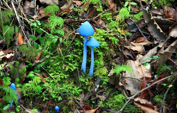 голубые грибы фото 1 (600x384, 366Kb)