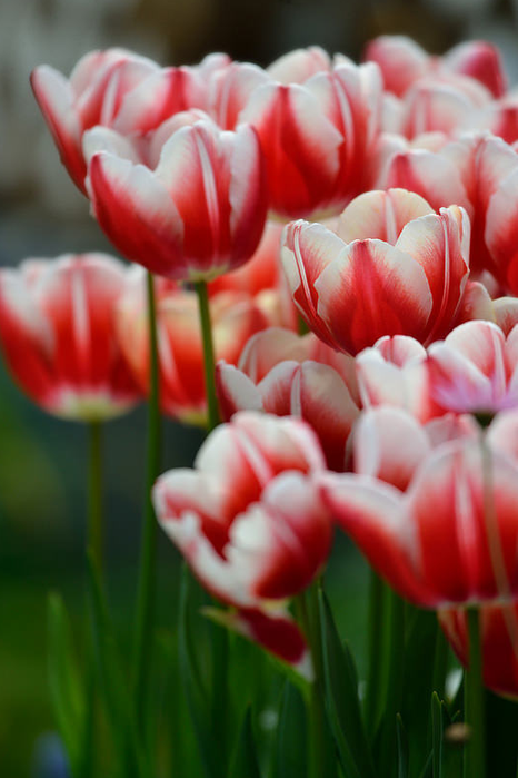 All sizes  Tulip  Flickr - Photo Sharing! (466x700, 360Kb)