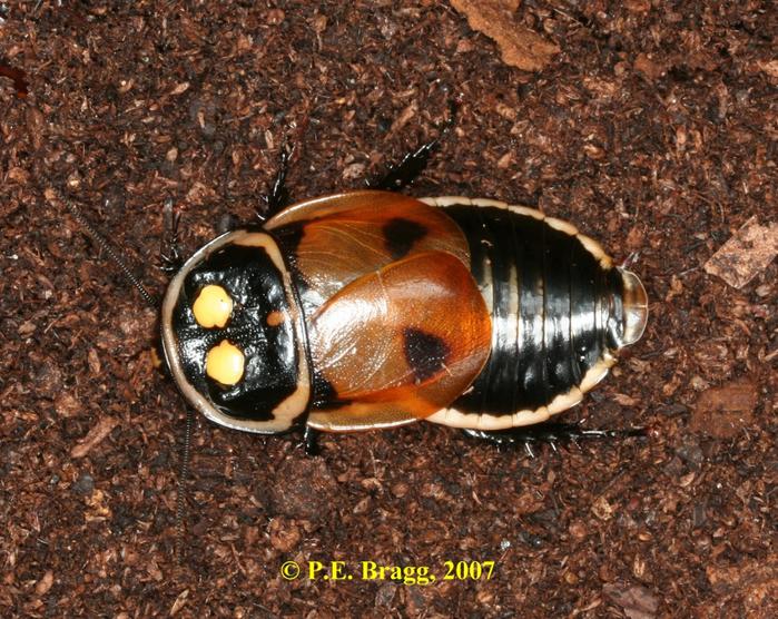 светящиеся тараканы тропических лесов 1 (700x556, 567Kb)