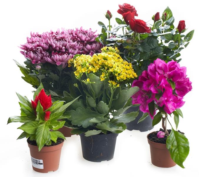 цветы цветущие комнатные