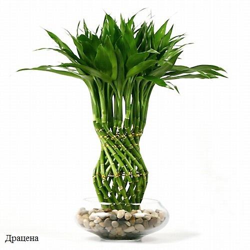 bambusz (500x500, 59Kb)