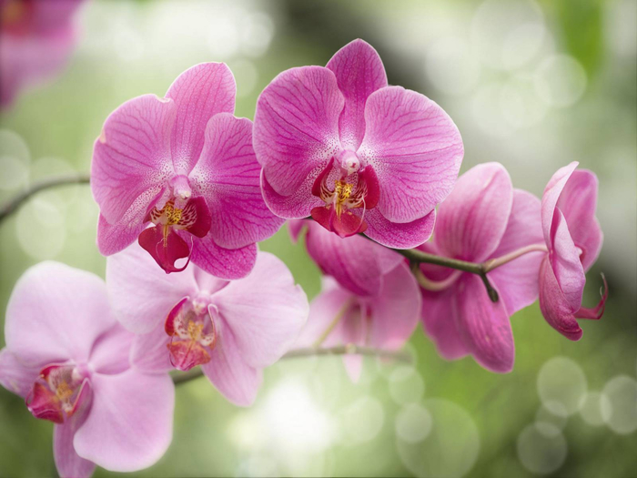 Purple Orchid  in Bloom (700x525, 303Kb)