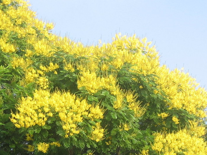 yellow-blossom-img3049 (700x525, 125Kb)