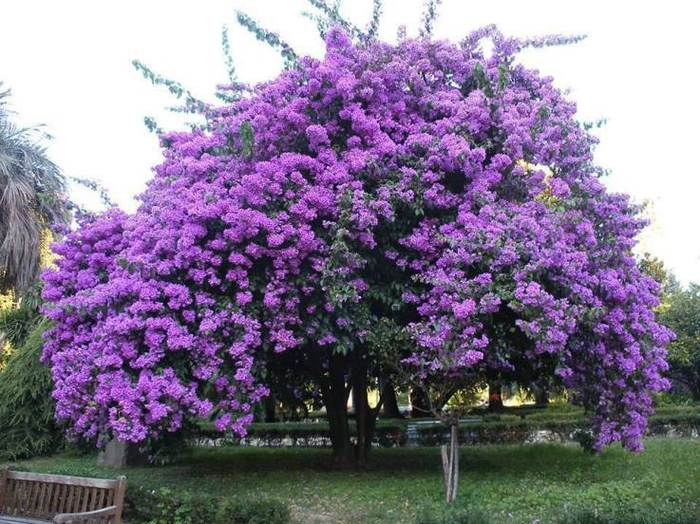 5420033_98318BeautifulPurpleJacarandaTree (700x524, 309Kb)