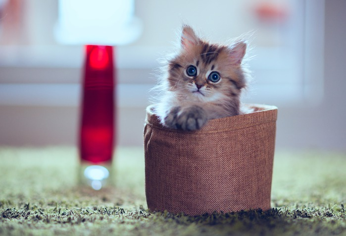 смешной-котенок-дейзи-фото (699x476, 71Kb)