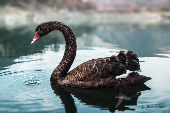black_swan_bg (700x466, 287Kb)
