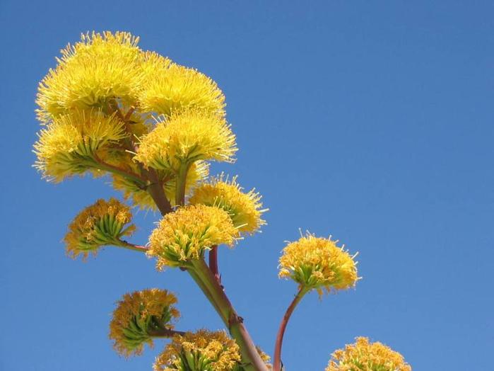 9-цветение агавы (700x524, 241Kb)