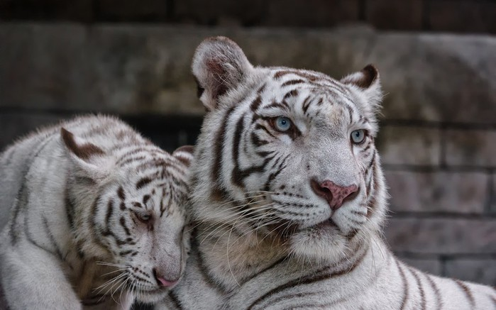 belyy-tigr-koshka-tigrenok-6726 (700x437, 74Kb)