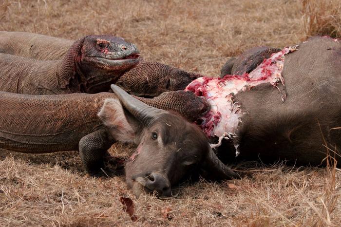 komodo-dragons-eating-wild-buffalo-komodo-island-indonesia-1600x1066 (700x466, 444Kb)